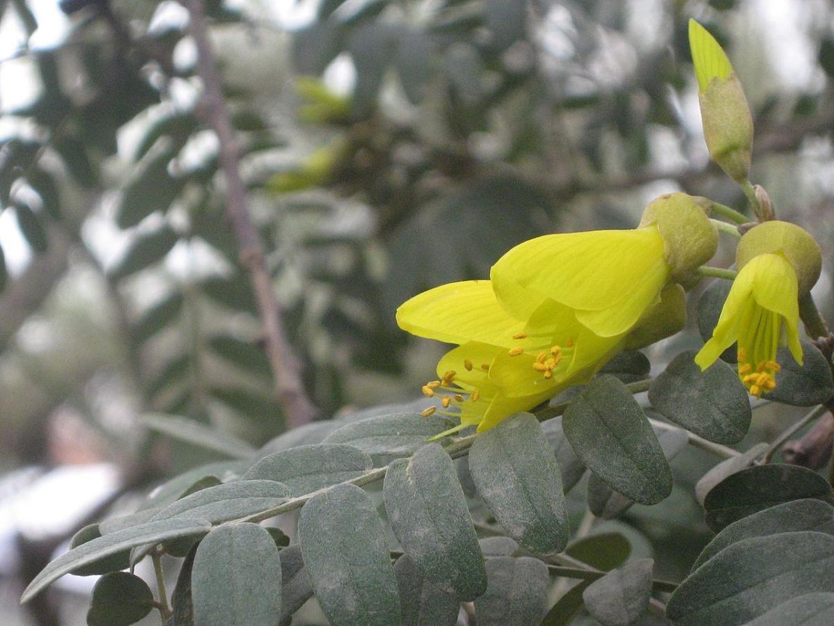 La Sophora macrocarpa es una planta de flores amarillas