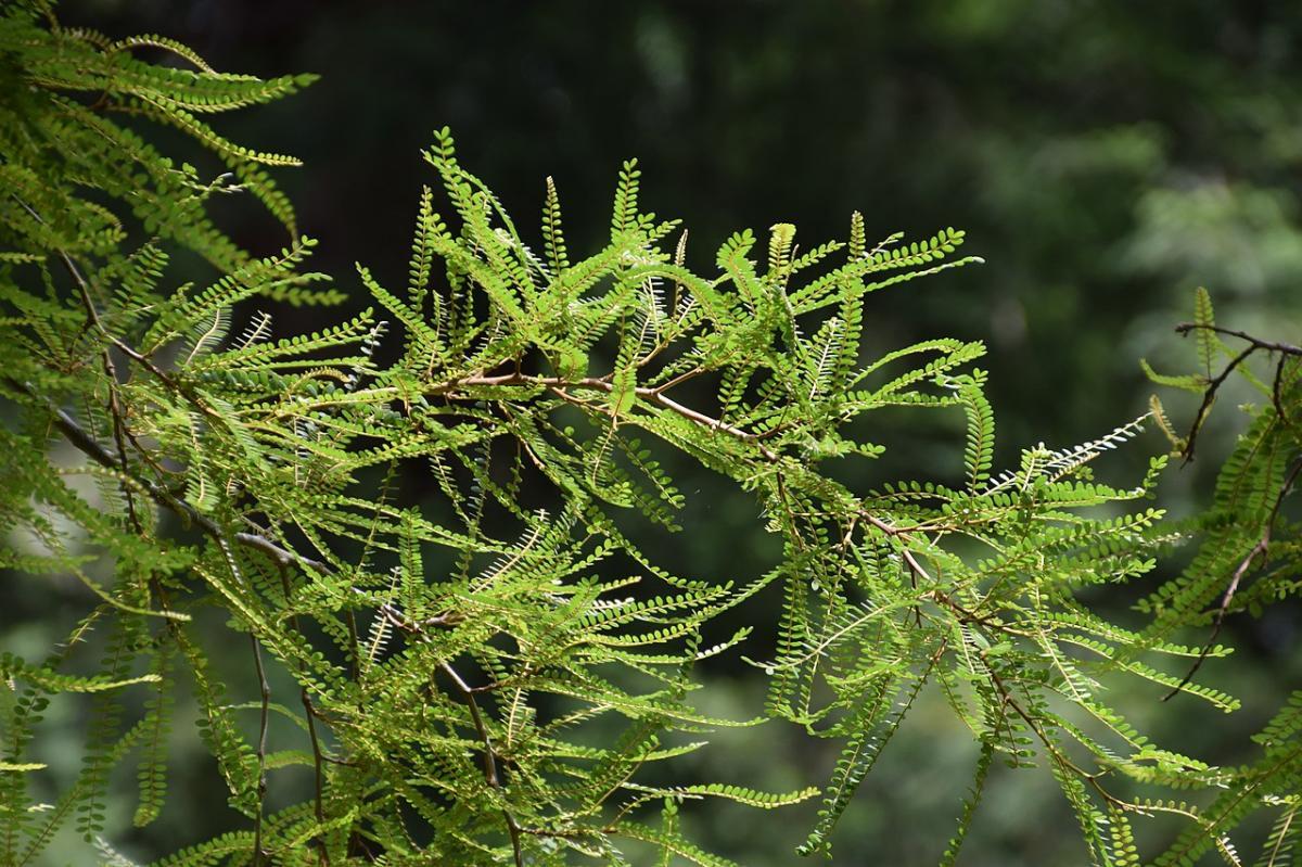 La Sophora microphylla tiene las hojas muy pequeñas