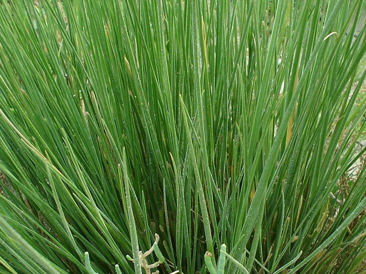 La Spartina es una hierba que crece en el mar
