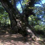 El roblón de Estalaya tiene 600 años