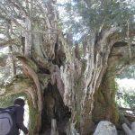 El tejo de Barondillo es un árbol monumental de España