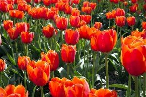 Los tulipanes son plantas bulbosas