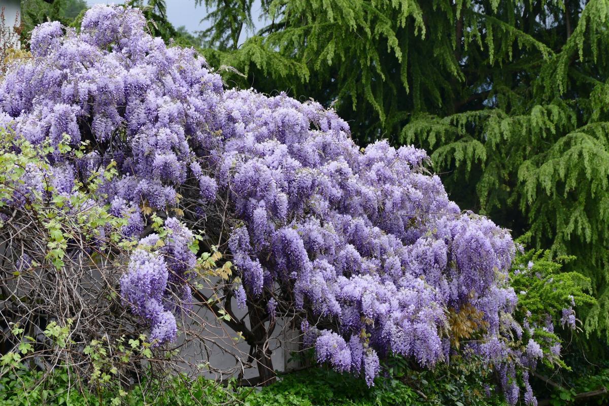 La wisteria es una planta caducifolia