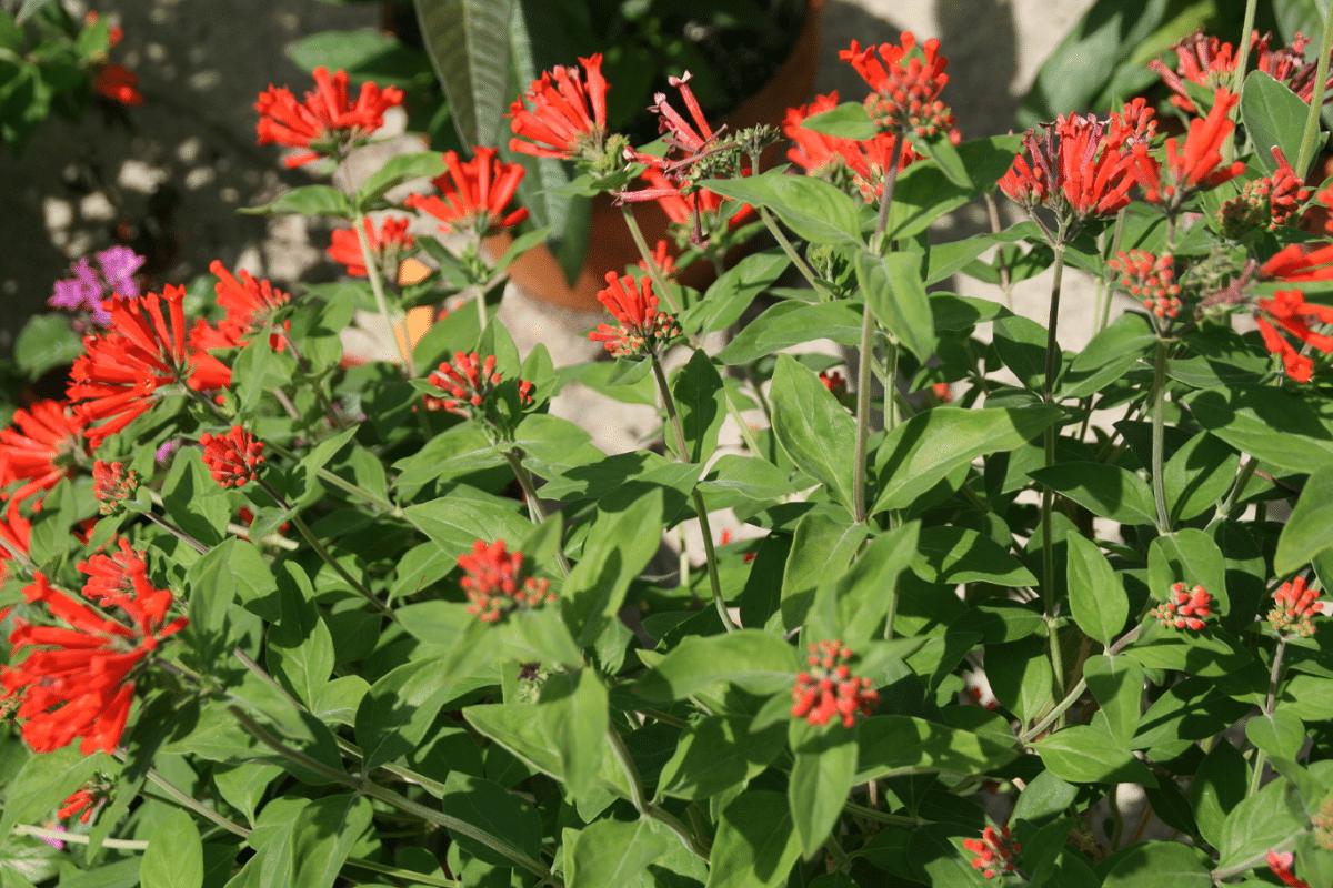 Bouvardia con flores rojas en jardin