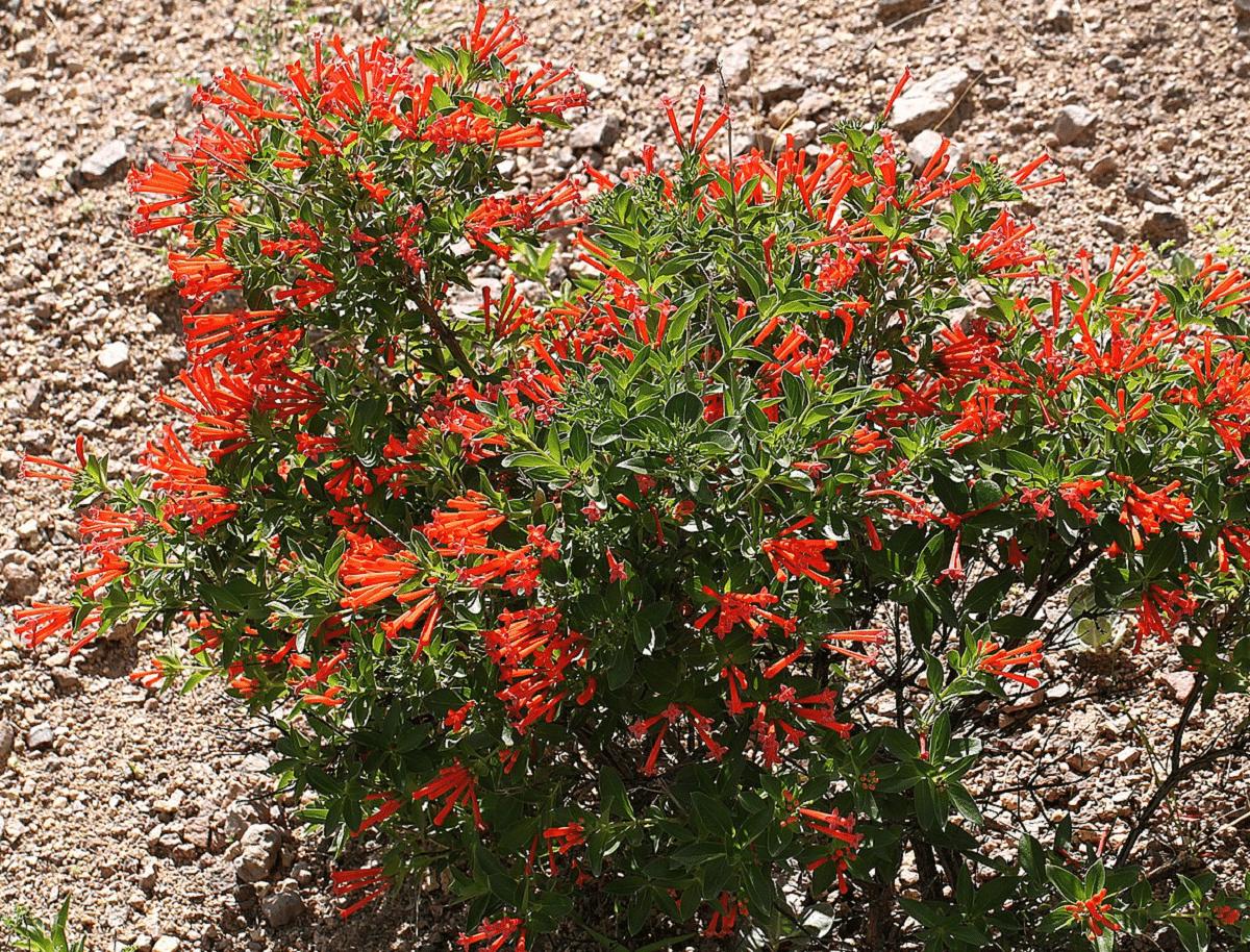 Bouvardia lleno de flores rojas