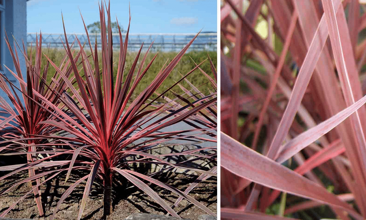 Cordyline australiana con hijas de color rojo