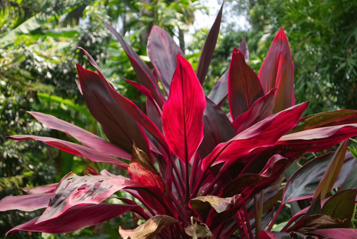Cordyline con hojas rojas y con una color muy vivo