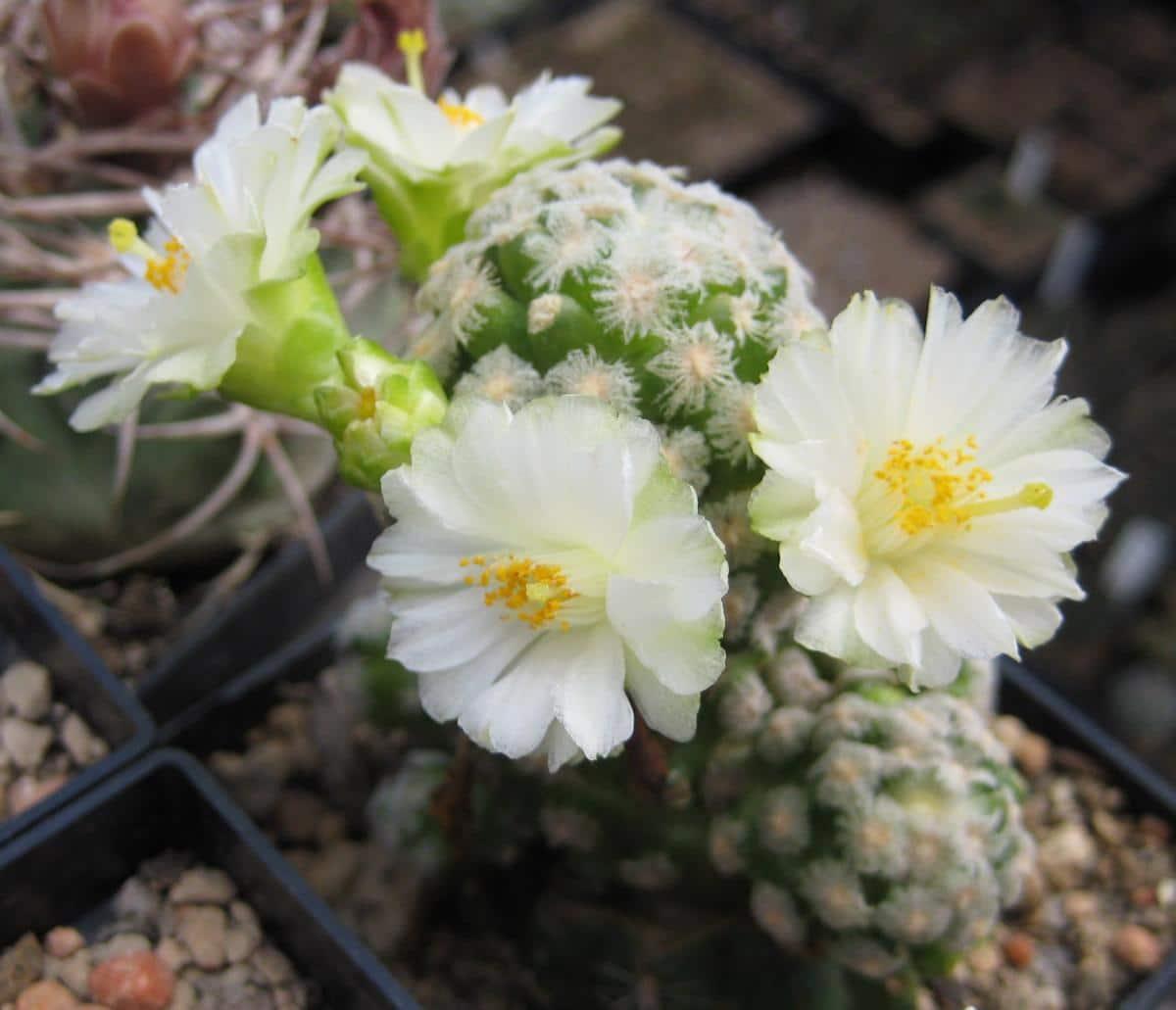 La Mammillaria theresae es un cactus pequeño