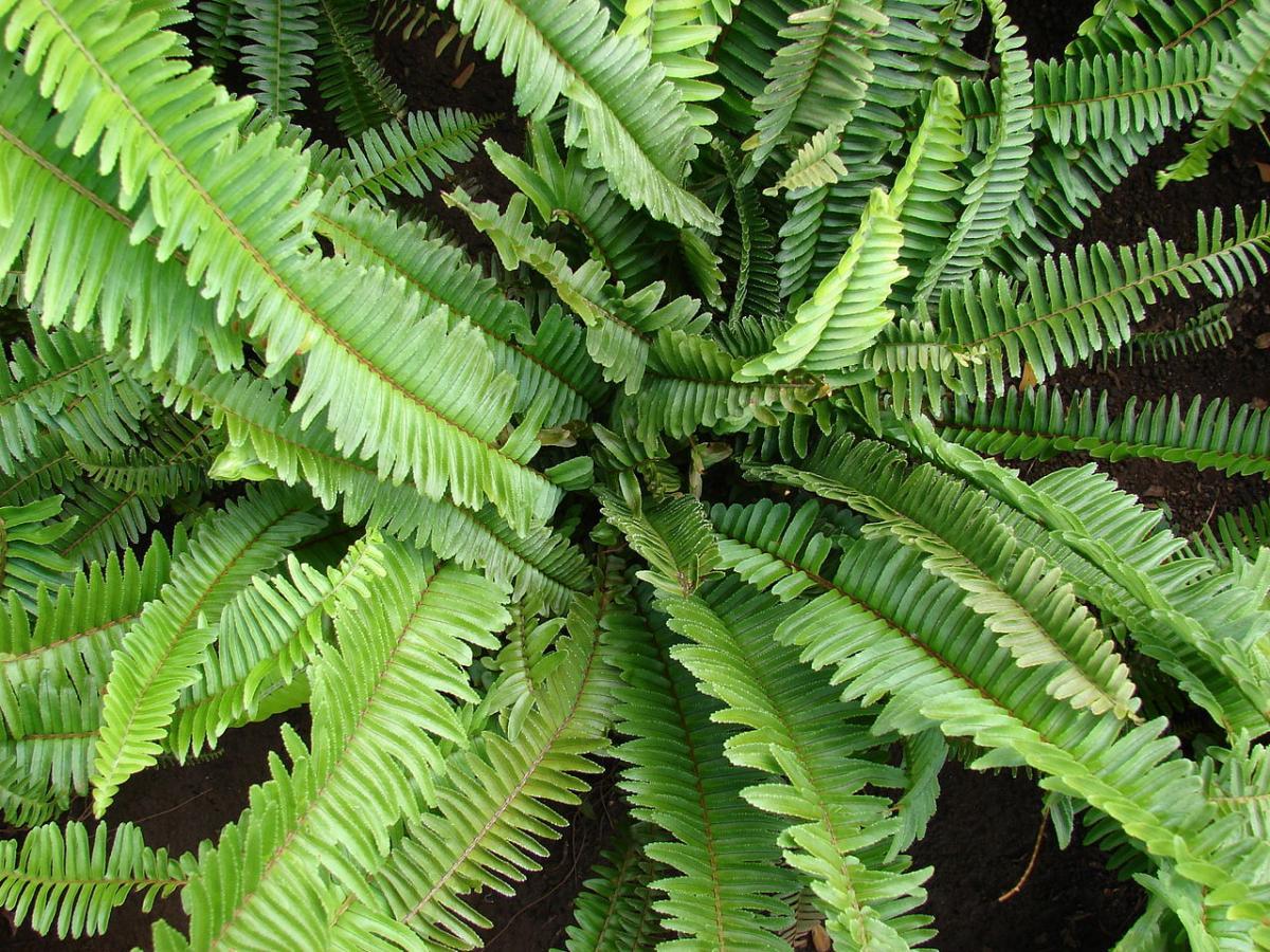 Vista del Nephrolepis cordifolia, un tipo de helecho pequeño