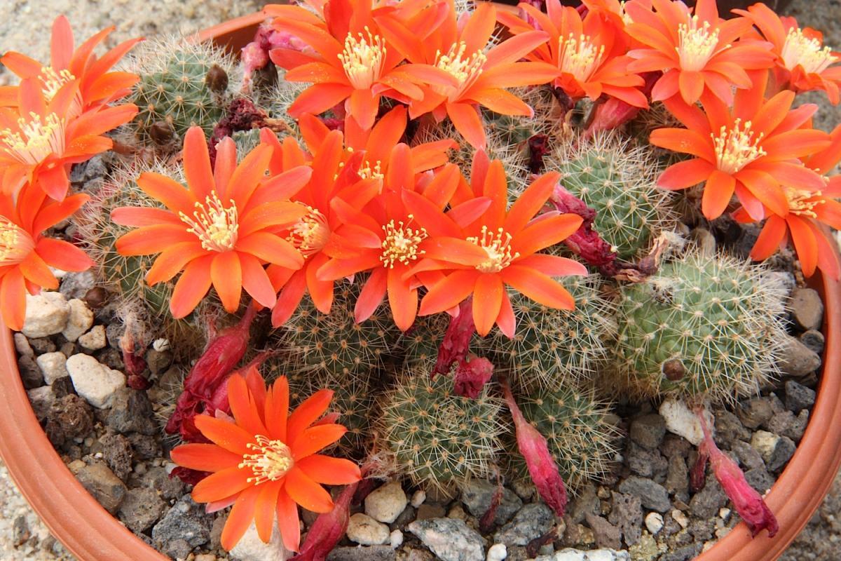 La Rebutia fiebrigii es un cactus globular espinoso