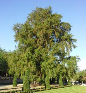 Vista del Taxodium mucronatum