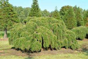 Tsuga canadensis con gran follaje