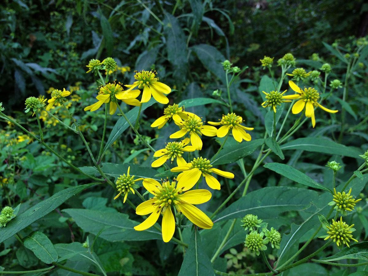 La Verbesina es una hierba que produce flores amarillas