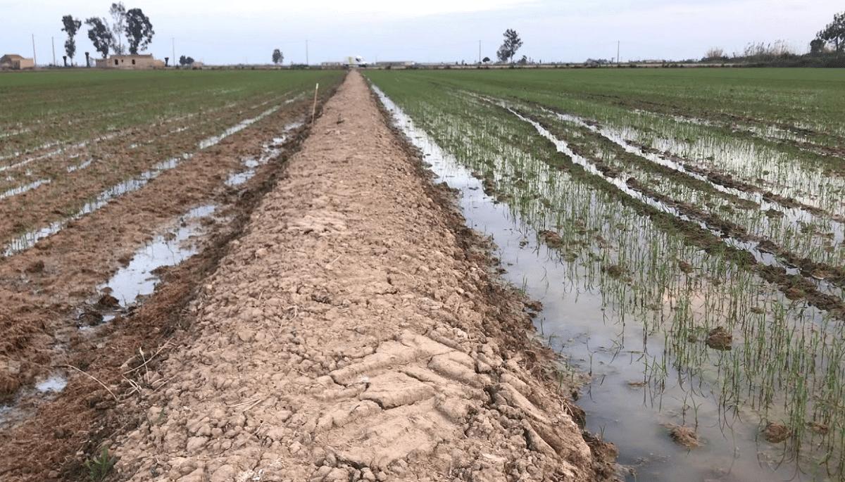 abonado de fondo cultivo de arroz