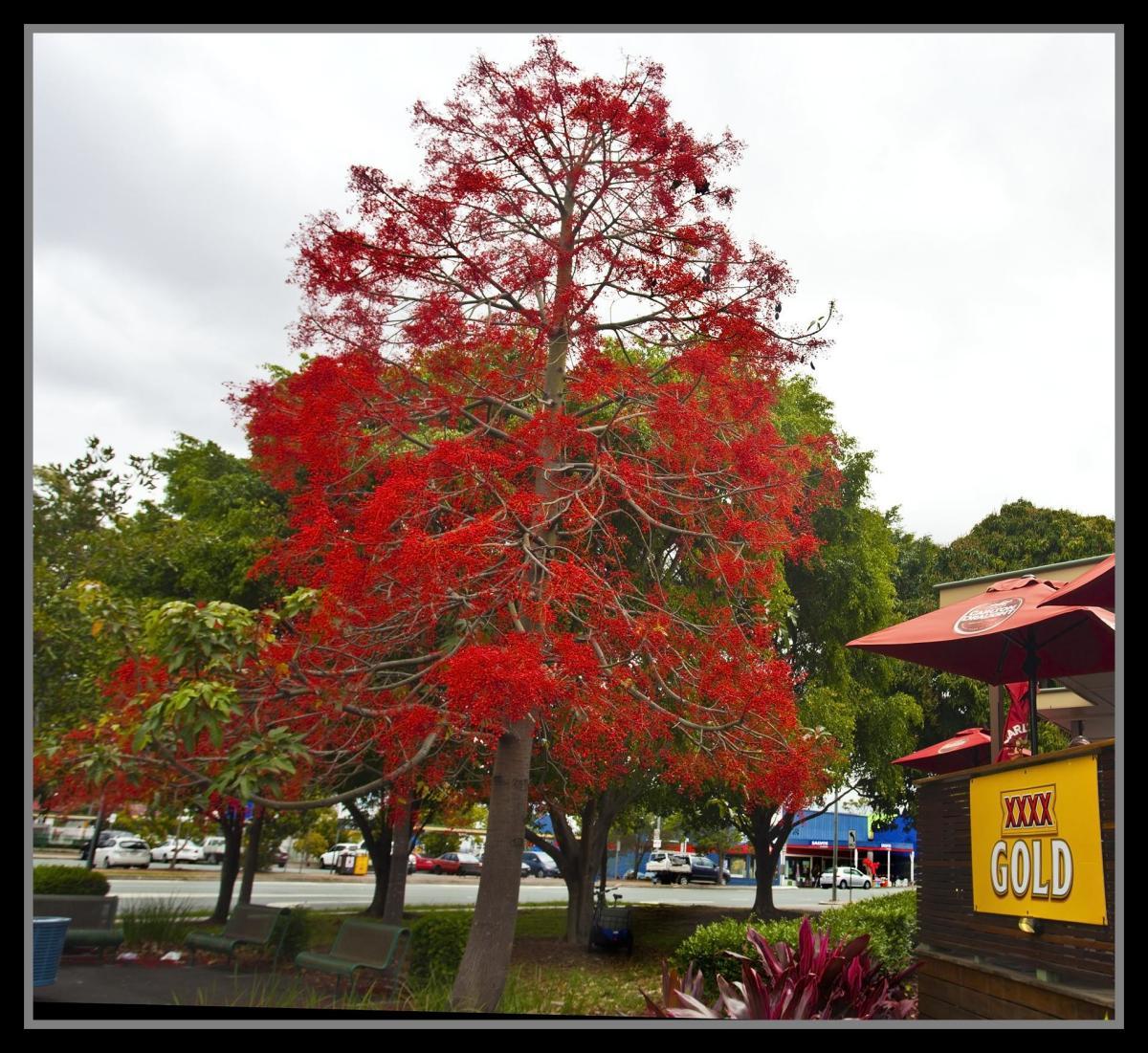 El árbol del fuego es una planta tropical