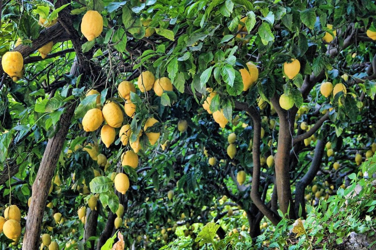 El limonero es un frutal perenne