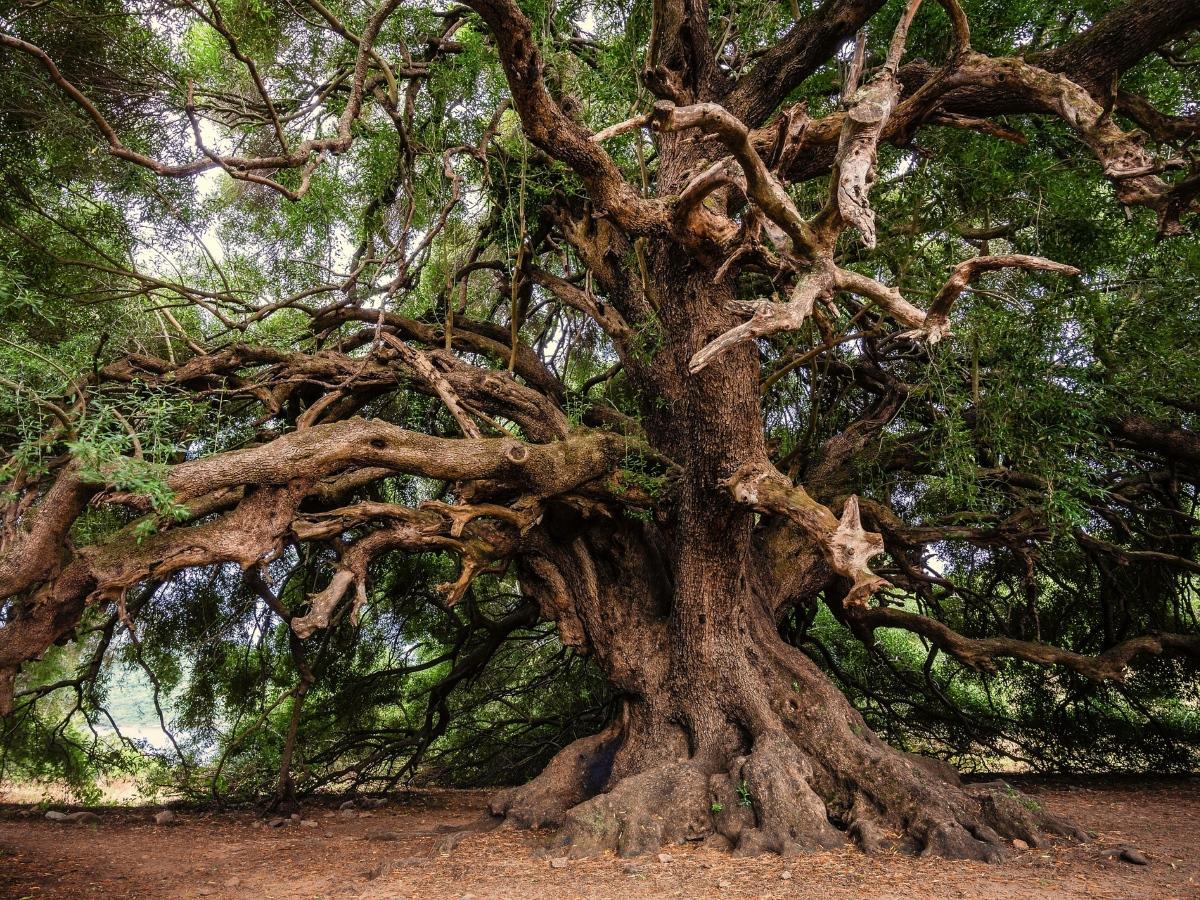 Hay muchos tipos de árboles grandes