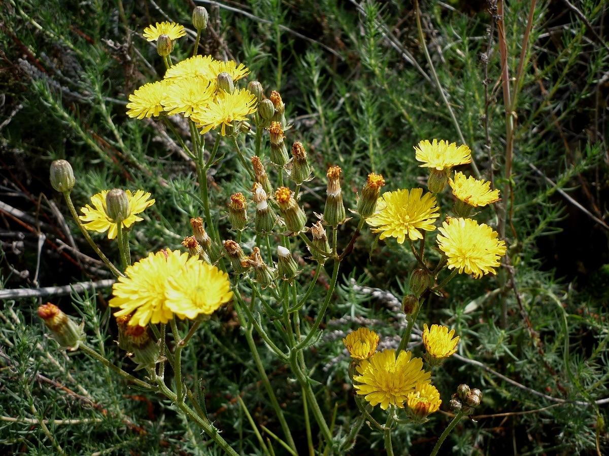 arbusto con flores amarilllas llamado Sonchus tenerrimus