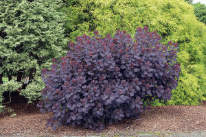 arbusto llamado Cotinus coggygria con hojas muy curiosas