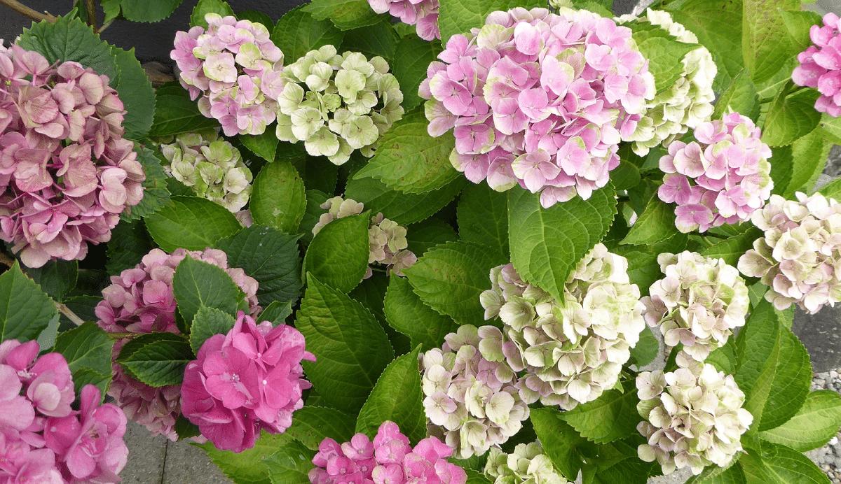 arbusto lleno de flores de la hortensia