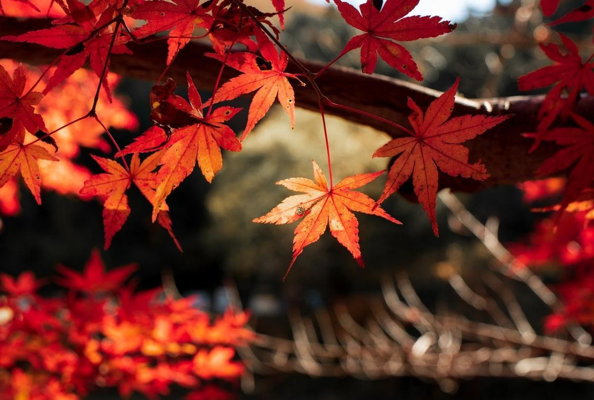 Hay árboles que se vuelven rojos en otoño