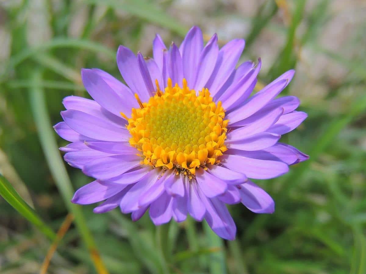 El Aster alpinus es una planta de flor lila