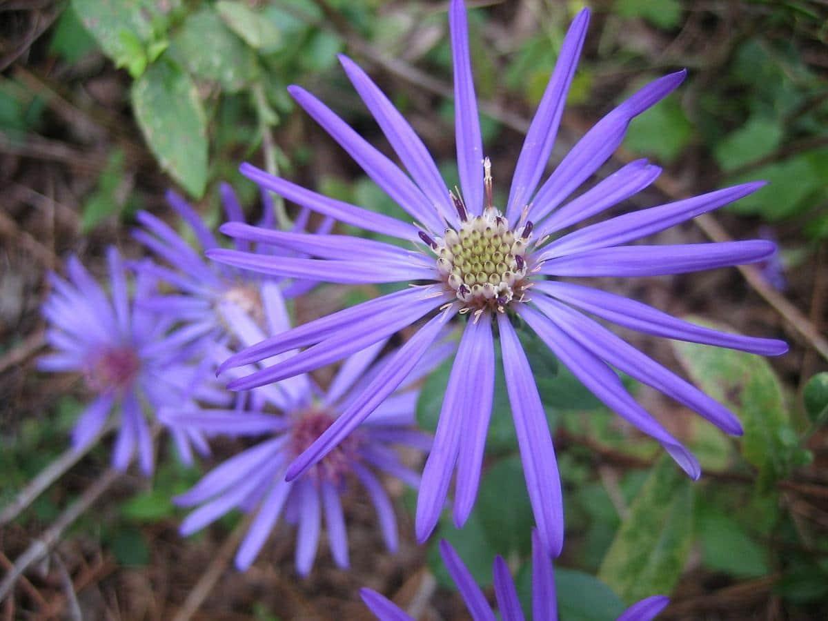 El aster de Georgia tiene flores lilas