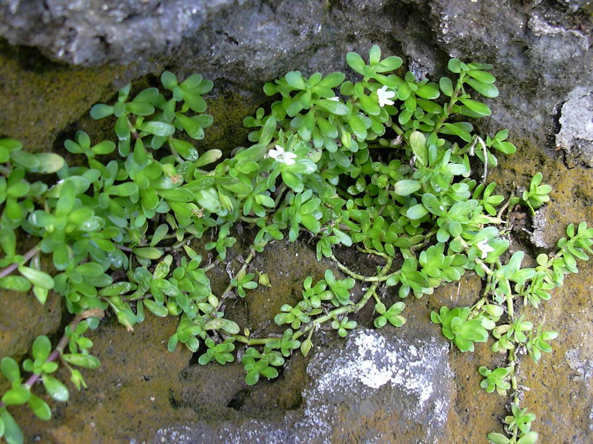 La Bacopa puede crecer como planta terrestre o acuática