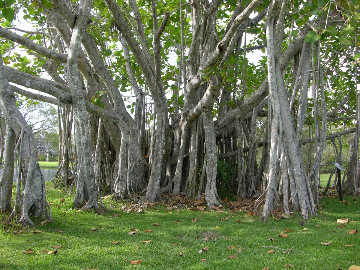 El baniano es un árbol epífito de la selva