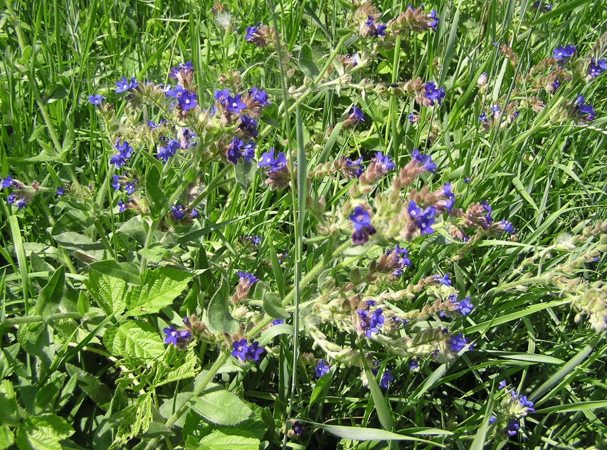 bonitas flores de la anchusa officinalis