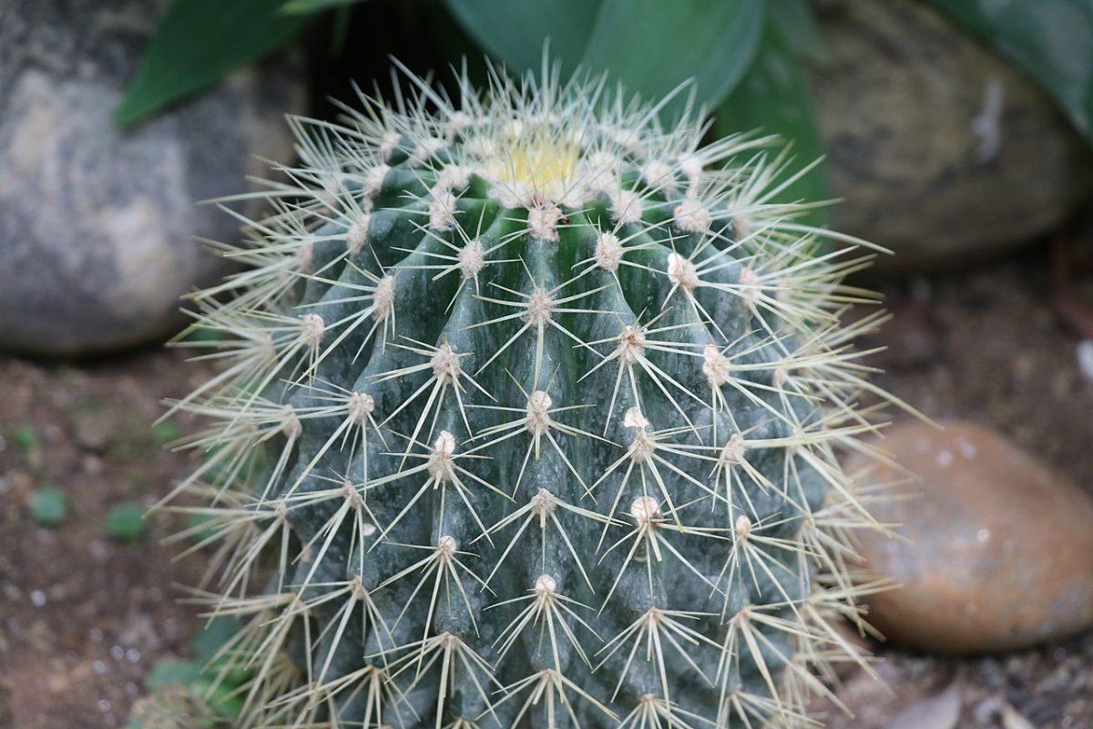 Los cactus en el jardín necesitan espacio