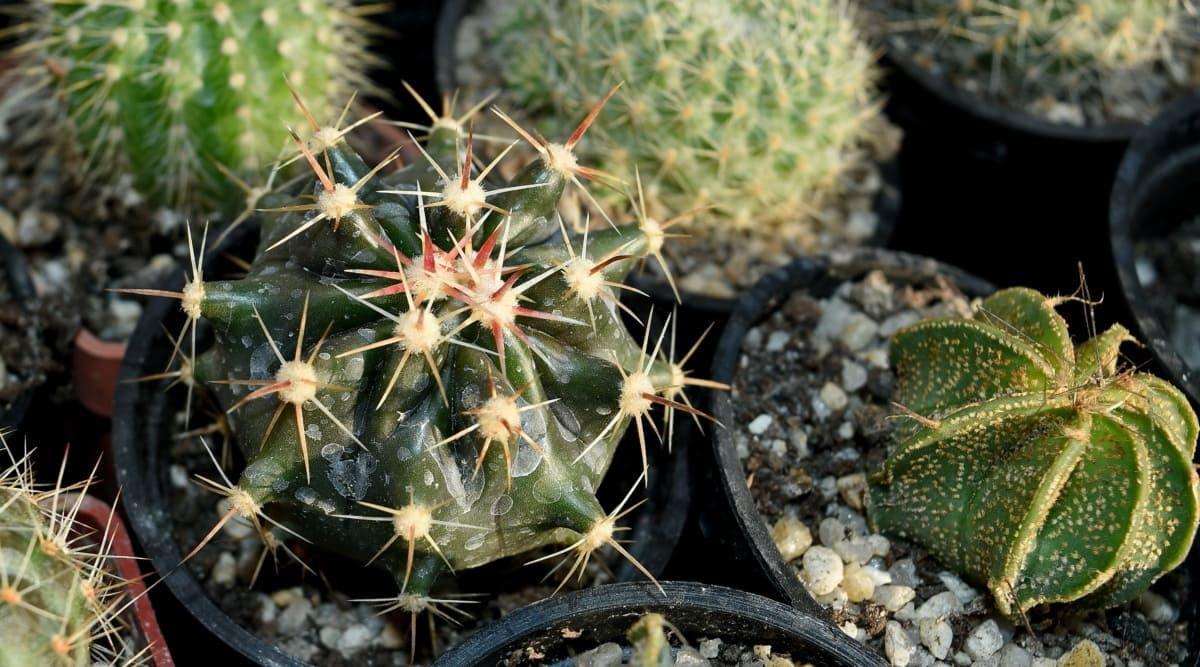 Puedes enderezar los cactus en maceta