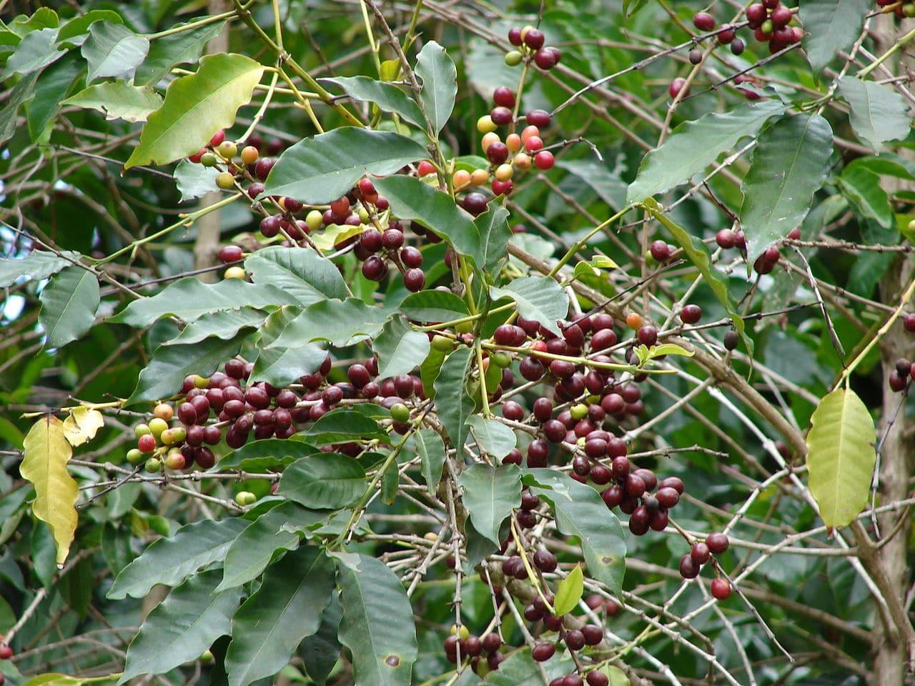 Vista de la planta del café
