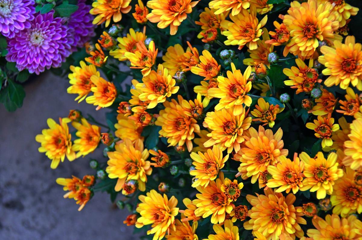 Los crisantemos son flores duraderas