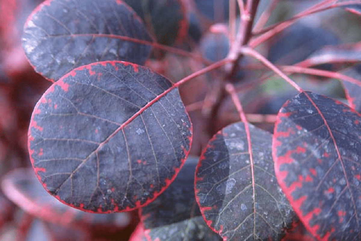 curiosas hojas en forma redondeada y con las ramas de un color rojizo