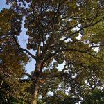 El durián es un árbol de Asia