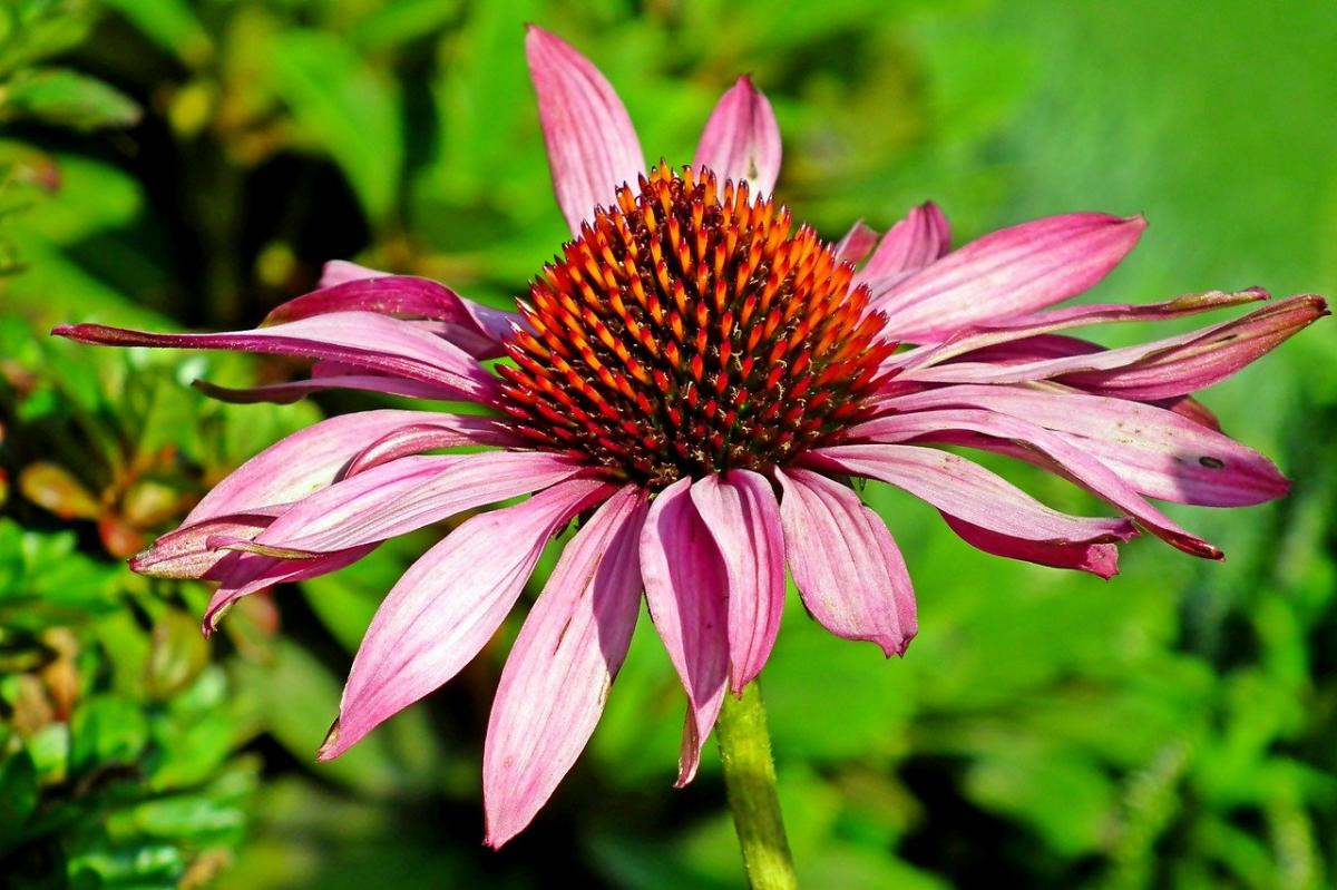 Las echináceas tienen flores muy similares a las de las margaritas