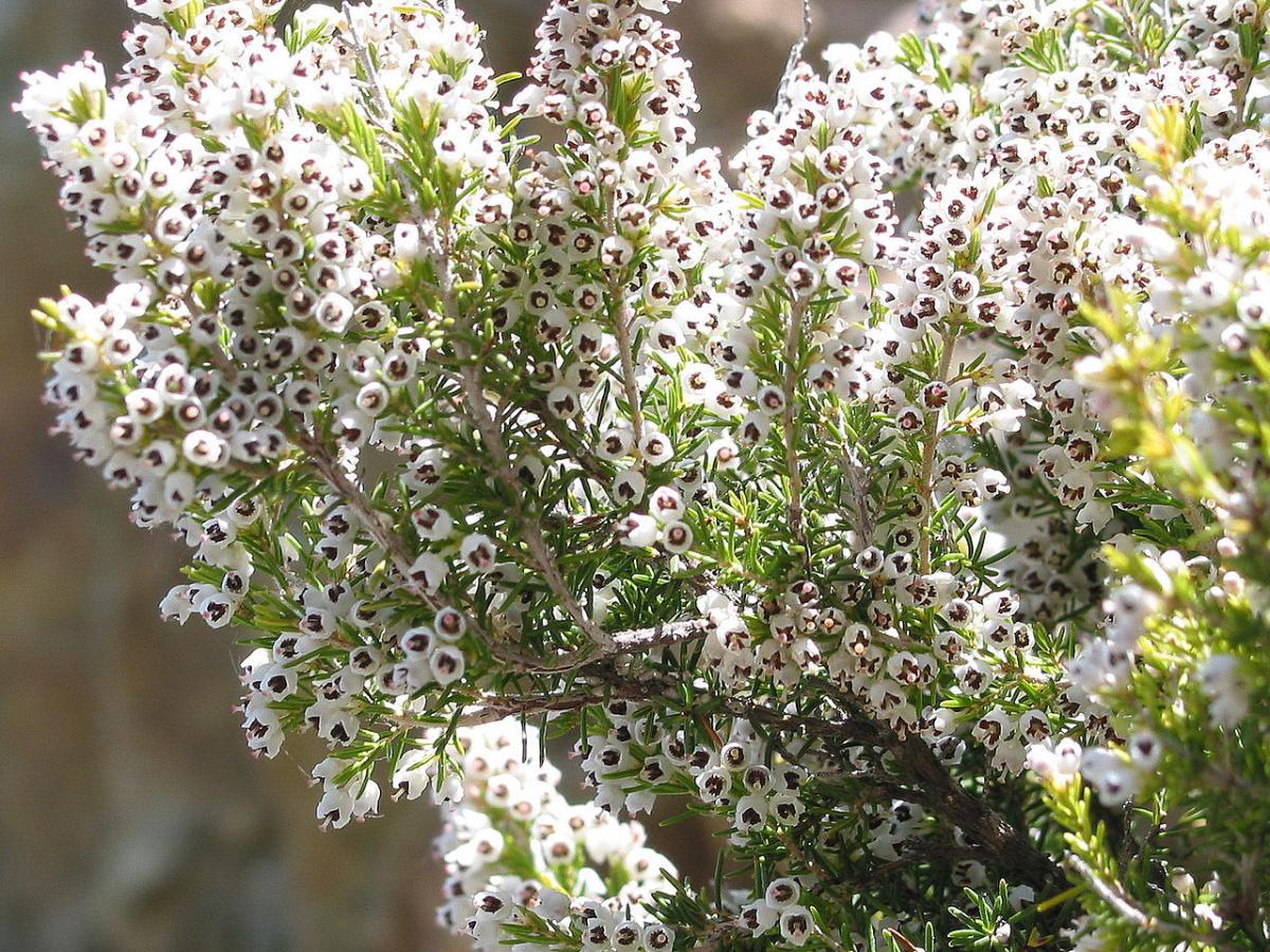 El brezo blanco produce flores con néctar