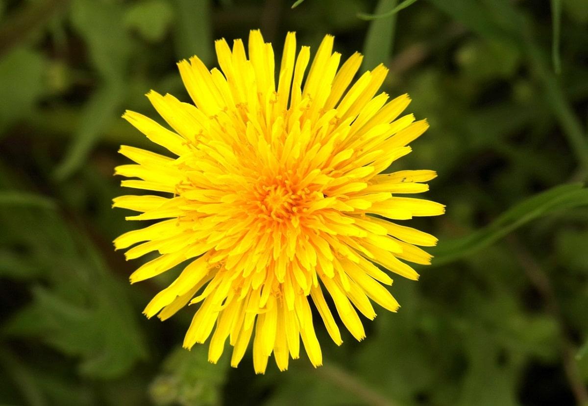 flor de la Sonchus tenerrimus que parece un sol por su forma y color