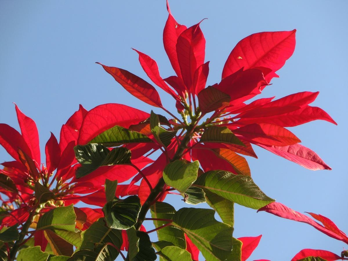 La flor de pascua es un arbusto tropical