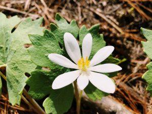 La sanguinaria es una planta con flores blancas