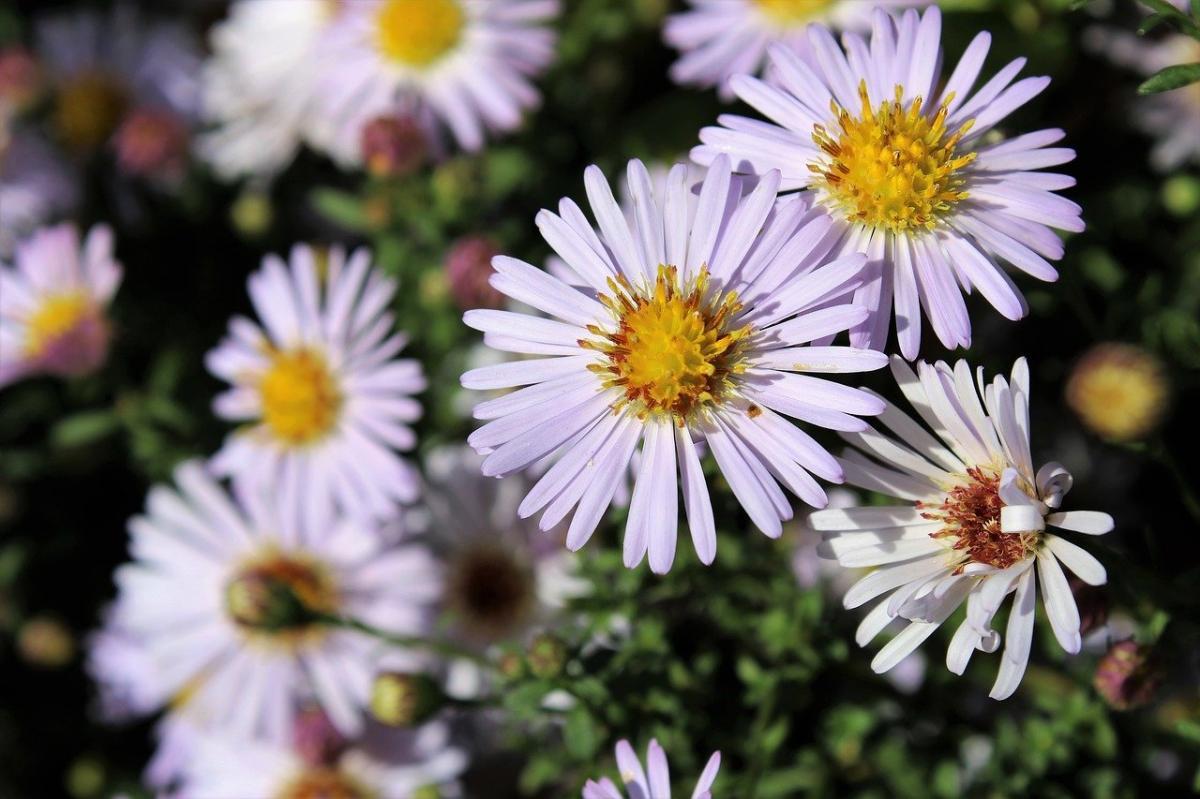 Los aster tiene flores parecidas a las margaritas