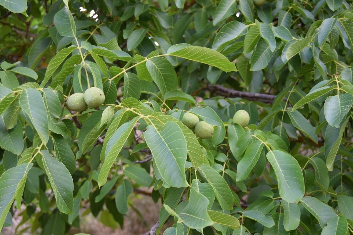 fruto del nogal