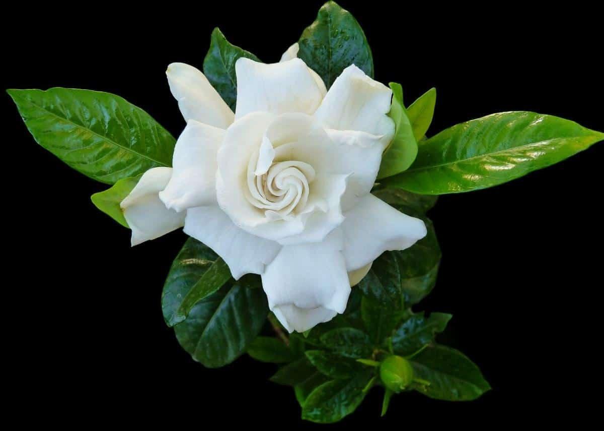 La gardenia es un arbusto que florece en verano y quiere media sombra