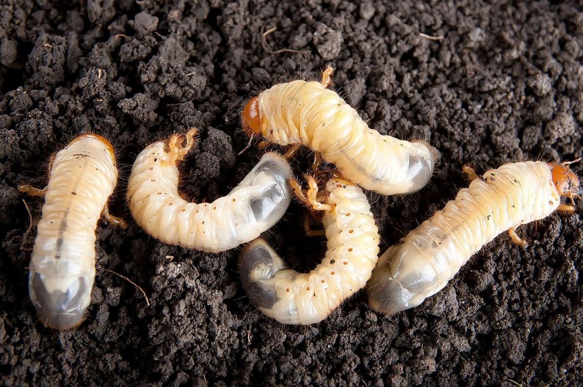 gusanos en plantas