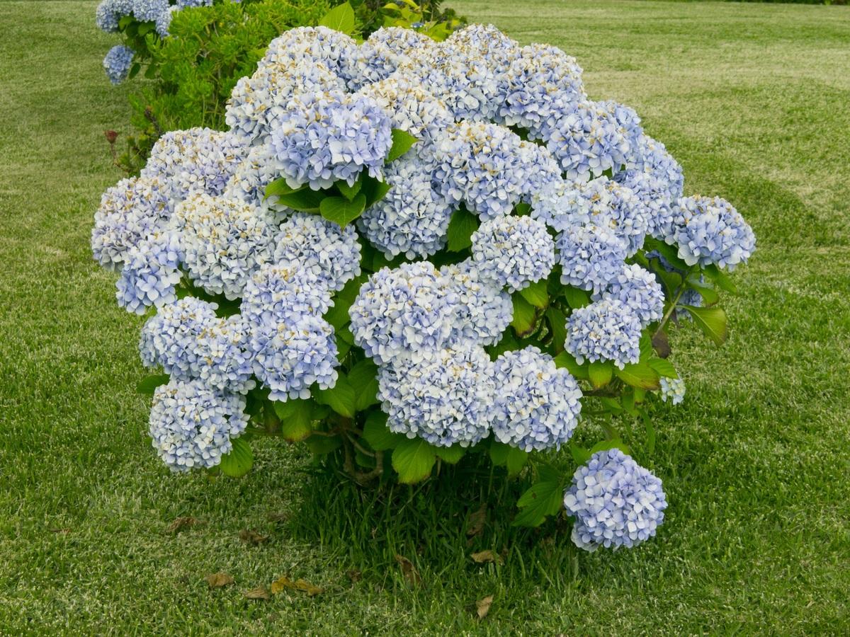 Las hortensias son arbustos que se han de podar