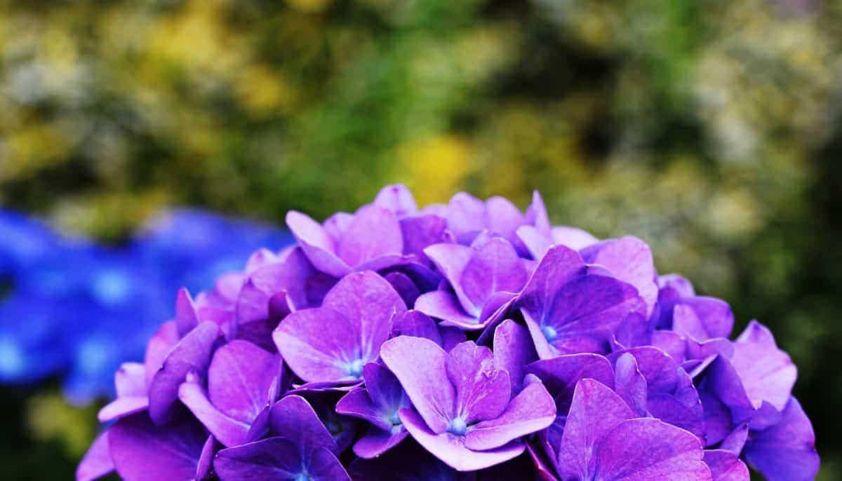 Las hortensias florecen en primavera y verano