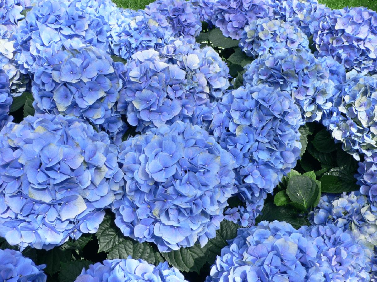 hortensias de color violeta