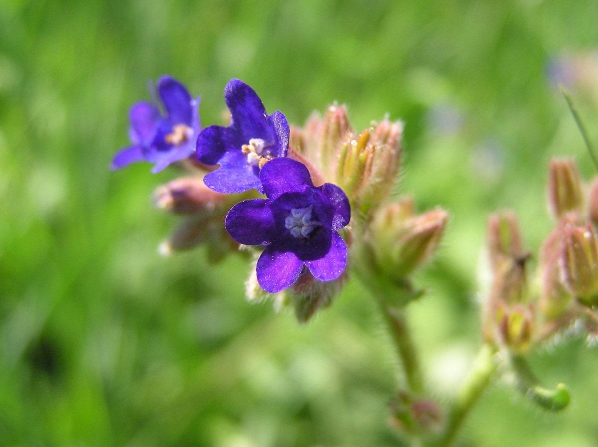 imagen de cerca de la flor Anchusa officinalis