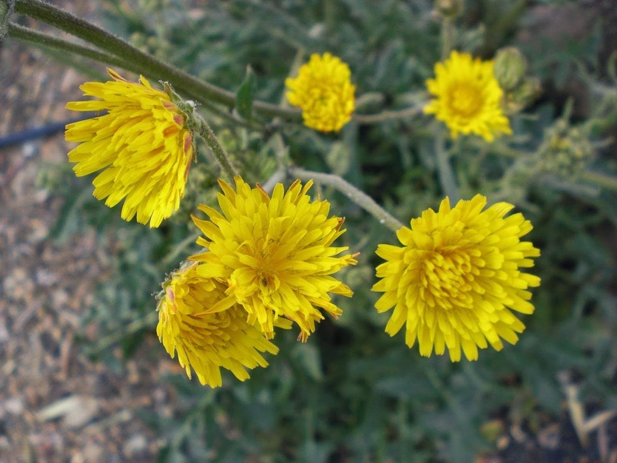 imagen de cerca de las flores amarillas de la Sonchus tenerrimus